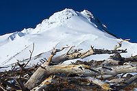 The top of Mt Hood in Oregon is seen on a blue sky day with fallen dead trees in the foreground that succumbed to the elements on the mountain