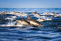 short beaked common dolphin ( Delphinus delphis ) mother and calf, baby. Mexico, Gulf of California, USA, Pacific Ocean