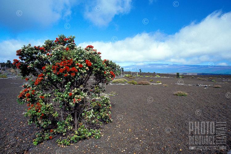 Ohia tree growing from lava cinders. Big Island, Hawaii Volcanoes National Park