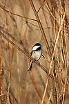 Black-capped chickadee (Poecile atricapilla) perched on a branch singing.  Winter, WI.