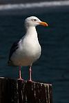 Seagull on the pier, Seal Beach, CA.