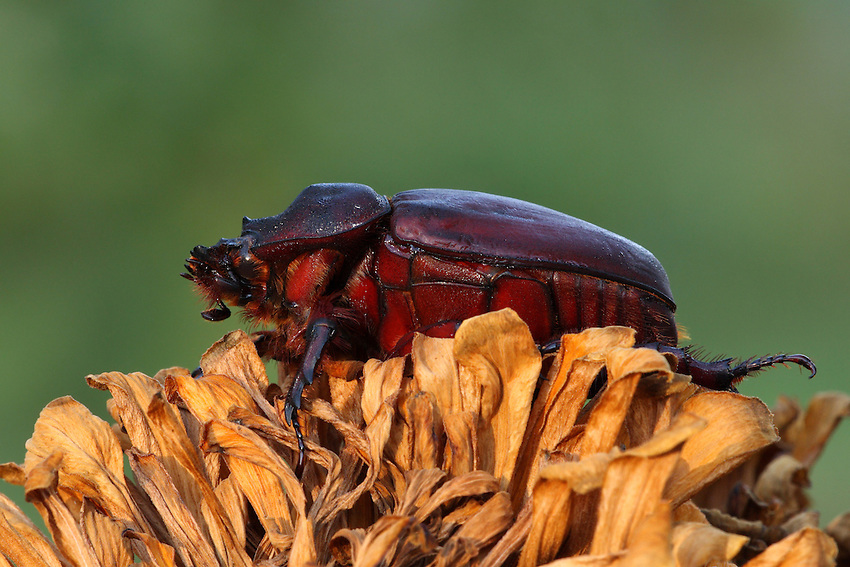 """The ox beetle, Strategus aloeus, is a species of rhinoceros beetle. The """"major"""" males of this species have three large horns on their thoraces, resembling the Triceratops. The """"minor"""" males have horns, as well, but the two back ones are small and the frontal horn is much shorter than the horn in major males. The female ox beetle (seen here) has a very short horn which has little use in fighting, but is used for digging in the ground."""