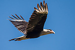 Brazoria County, Damon, Texas; a Crested Caracara perched flying overhead against a blue sky in late afternoon sunlight