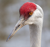 There is a family of Sandhill Cranes that stays at Reifel Bird Sanctuary year-round, presumably because visitors often feed the birds there.