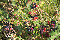 Brombeere, Brombeeren, Echte Brombeere, Beere, Beeren, Frucht, Früchte, Rubus fruticosus agg., Rubus sectio Rubus, blackberry, bramble, fruit, ronce