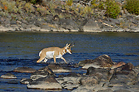 Pronghorn Antelope (Antiloapra americana) buck fording Lamar River, Yellowstone National Park, WY.  September.