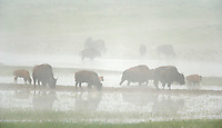 Bison travel through foggy wetlands in Hayden Valley, Yellowstone National Park, WY