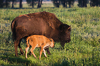 American Bison, Buffalo (Bison bison), cow with calf, Antelope Flats, Grand Teton NP,Wyoming, USA