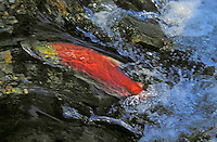 Sockeye Salmon migrating upstream to spawning grounds..Sockeye turn red after they leave salt water and move into fresh water..Adams River, British Columbia. Pacific Coast..(Oncorhynchus nerka).