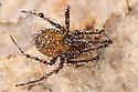 European Cave Spider (Meta menardi) covered in water droplets in a limestone cave. Peak District National Park, Derbyhsire, UK. January.