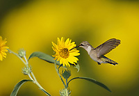 Ruby-throated Hummingbird (Archilochus colubris), female feeding on Maximilians Sunflower (Helianthus maximilianii), Hill Country, Central Texas, USA