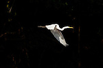 A great egret in flight in the Pantanal, Mato Grosso, Brazil.