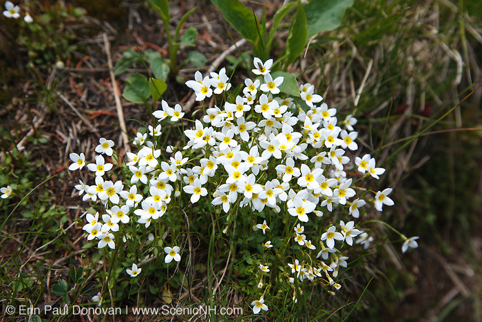 Alpine Bluet - Houstonia caerulea - in the White Mountains, New Hampshire USA during the summer months.