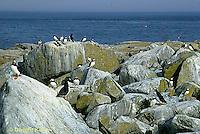 MC23-019z  Atlantic Puffin - on rocks at Machias Seal Island, Bay of Fundy - Fratercula arctica
