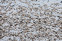 Snow Goose (Chen caerulescens), flock lifting off, Bosque del Apache National Wildlife Refuge , New Mexico, USA,