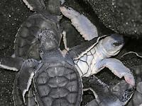 green sea turtle, Chelonia mydas, hatchling, a rare leucistic white turtle, Rosalie Beach, Dominica, Windward Islands, Lesser Antilles, Atlantic Ocean