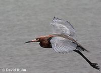 0124-08ss  Flying Reddish Egret Dark Morph, Egretta rufescens  © David Kuhn/Dwight Kuhn Photography