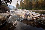 Corpse of Pink Salmon (Oncorhynchus gorbuscha) on the banks of the Atnarko River, British Columbia, Canada.