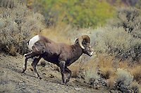 California bighorn sheep ram (Ovis canadensis california), October, Western North America.