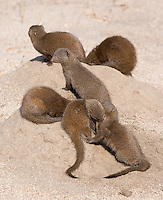 The dwarf mongoose is one of my favorite smaller critters in Africa.