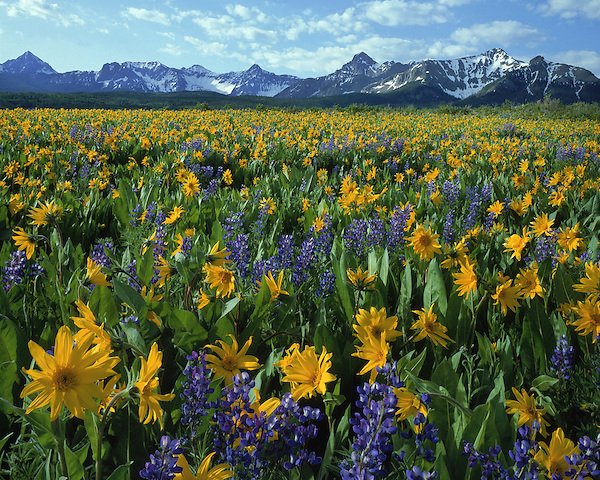 Sneffels Range with Lupine and Sunflowers, Telluride, Colorado, USA. John guides custom photo tours in the Sneffels Range and throughout Colorado.