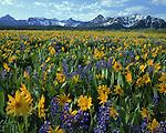 Sneffels Range with Lupine and Sunflowers, Telluride, Colorado, USA. John guides custom photo tours in the Sneffels Range and throughout Colorado.