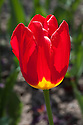 Tulip 'Wisley' (Single Late Group), late April.