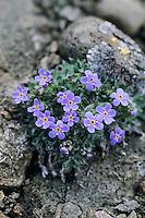 Himmelsherold, Eritrichium nanum, Arctic alpine forget-me-not, Alpine Forget-me-not