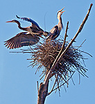 An adult Great Blue Heron leaves its nest after feeding an immature Great Blue.