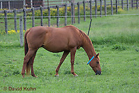 0510-0905  Dutch Warmblood Horse, Mare Grazing in Pasture, Equus ferus caballus  © David Kuhn/Dwight Kuhn Photography