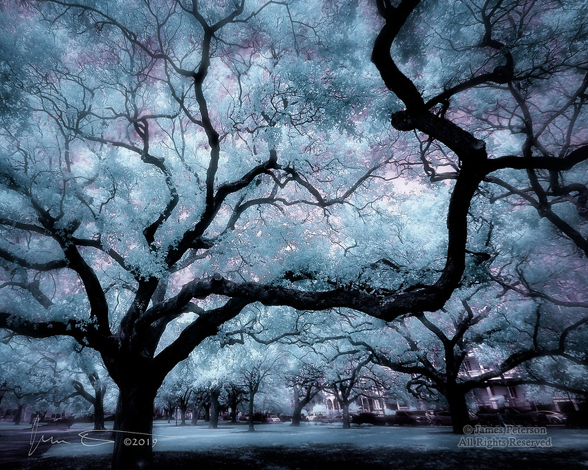 Oaks along The Battery, Charleston (Infrared).  These ancient, majestic oaks along Charleston's historic waterfront are among the gnarliest I've ever seen anywhere, and Charleston is full of them.<br /> <br /> Image ©2019 James D Peterson