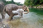 Bathing Sumatran Elephants (Elephas maximus sumatrans)(domestic). Gunung Leseur National Park, Sumatra, Indonesia.