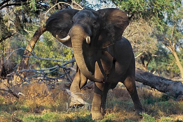 Aggressive (bluff charge) African elephant bull (Loxodonta africana).