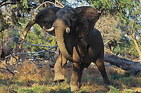 Aggressive (bluff charge) African elephant bull (Loxodonta africana).