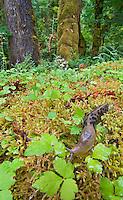 Banana Slug or Pacific Banana Slug (Ariolimax columbianus) crawls on mossy fallen log among wood sorrel (Oxalis acetosella).  Olympic National Park's rainforest, WA.  Summer.