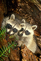 Two baby raccoons, peeking out of hole in log