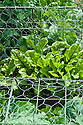 Beetroot 'Detroit 6 Rubidus' and Cauliflower 'All The Year Round' (under wire netting), mid June.