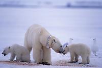 polar bear, mother & cubs, Ursus maritimus, feeding on carcass of baleen whale, note tracking collar on mother bear, Arctic National Wildlife Refuge, 1002 Area North Slope of Alaska, polar bear, Ursus maritimus