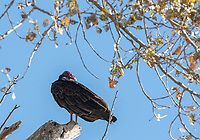 A Turkey Vulture, Cathartes aura, perches in a tree at Sacramento National Wildlife Refuge, California