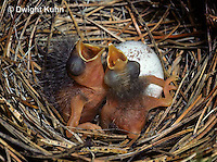 SW01-003z  Song Sparrow - young in nest, just hatched - Melospiza melodia