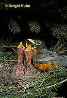 RO02-008z  American Robin - adult preparing to sit on young for protection - Turdus migratorius