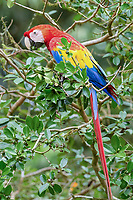 scarlet macaw, Ara macao, eating a fruit, Alajuela Province, Costa Rica, Central America