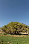 T-090 Acacia Albida in Tel Shimron