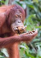 Borneo Mouthful of Bananas