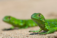 Groene leguaan (Iguana iguana), juvenile