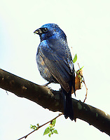 Male blue bunting