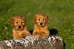 Goldern retriever puppies
