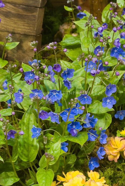 Blue flowers of Omphalodes cappadocica 'Cherry Ingram' with Primula 'Belarina Series Nectarine'