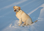 Yellow labrador sitting in winter snow.