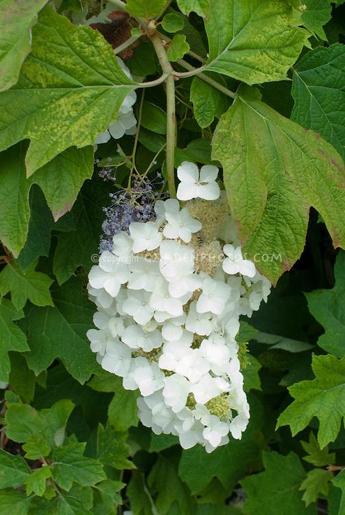 Hydrangea quercifolia 'Ellen Huff' (Oakleaf hydrangea) + Ceanothus